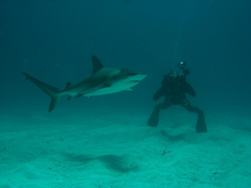 Grand Cay Sharkschool, Grand Cay,Bahamas,Hai,Taucher,Vorführung