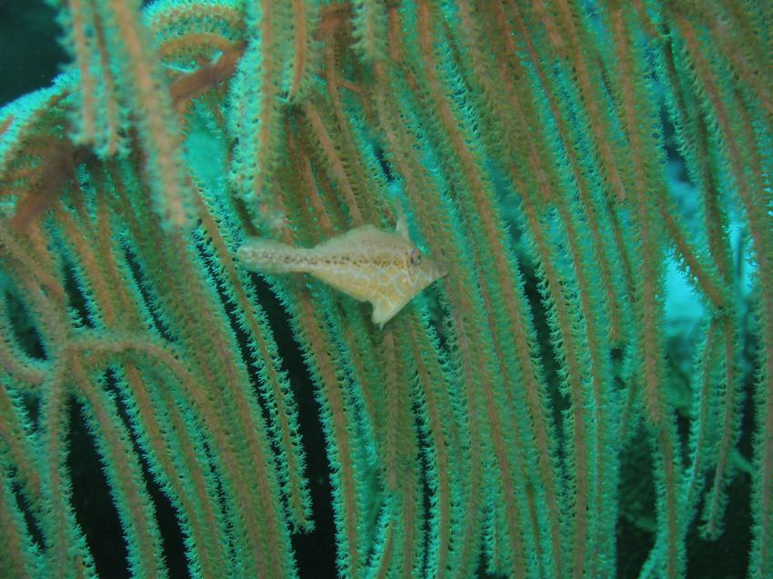 Bonaire, Bonaire,Niederländische Antillen,Feilbauchfisch