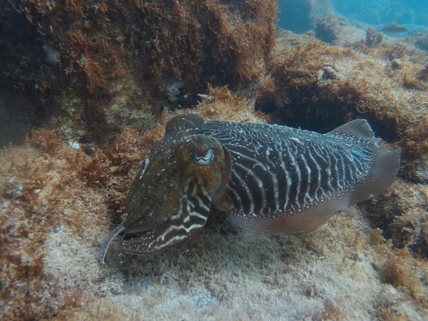 Sepia, Leagues Ahead Diving, Maspalomas , Spanien, Kanaren (Kanarische Inseln)