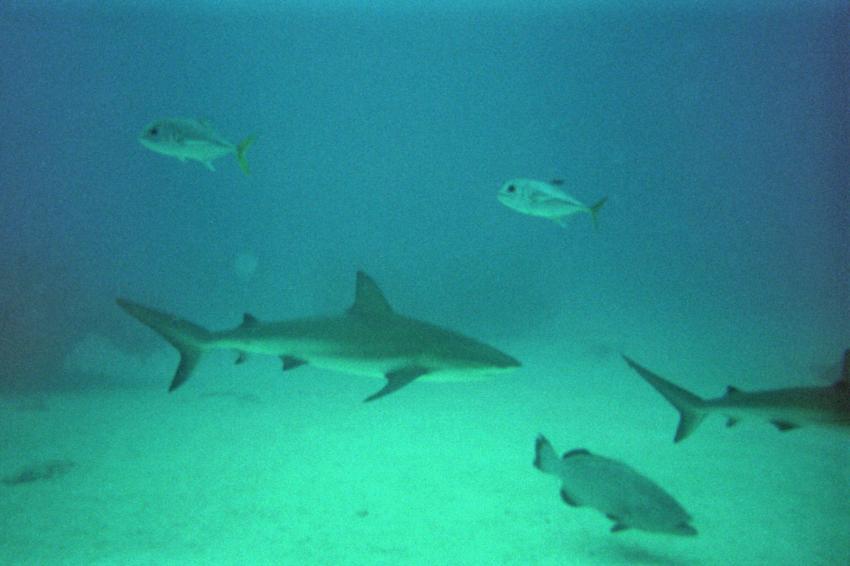 Shark Alley (1)