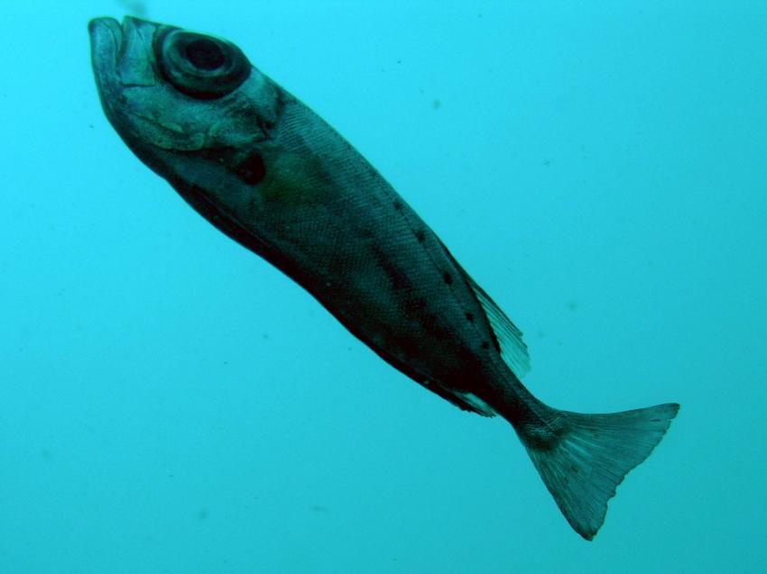 Boa Vista, Boa Vista,Kap Verde,soldatenfisch,unbekannt,auge,maul