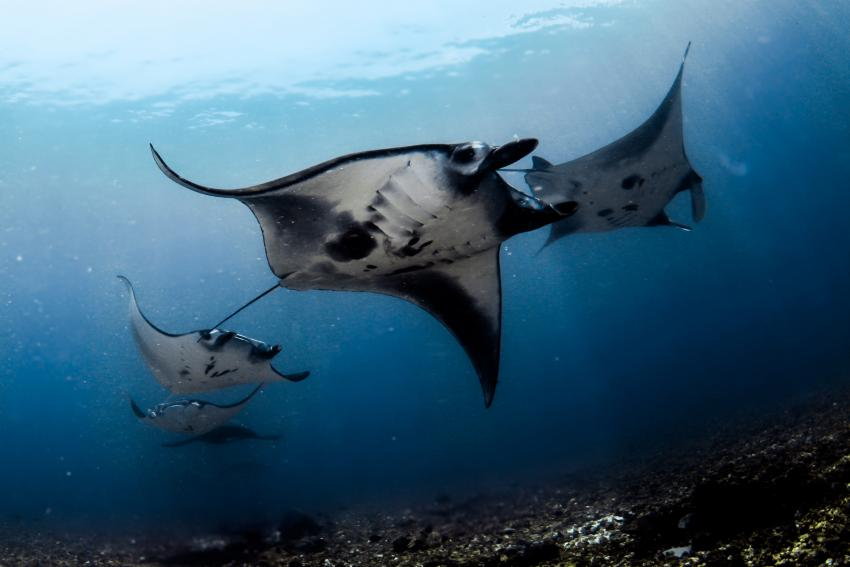 Mantas in Komodo
