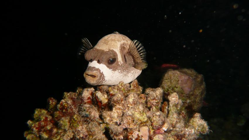 Nachttauchgang, Hausriff Magic Divers Kalawy,Ägypten,Kugelfisch