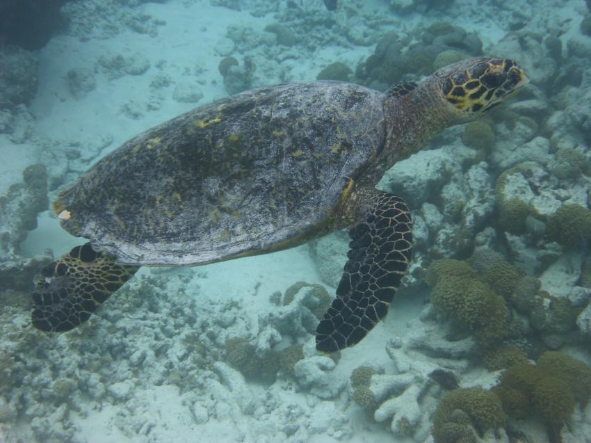 Turtle, DivePoint Meedhupparu, Malediven