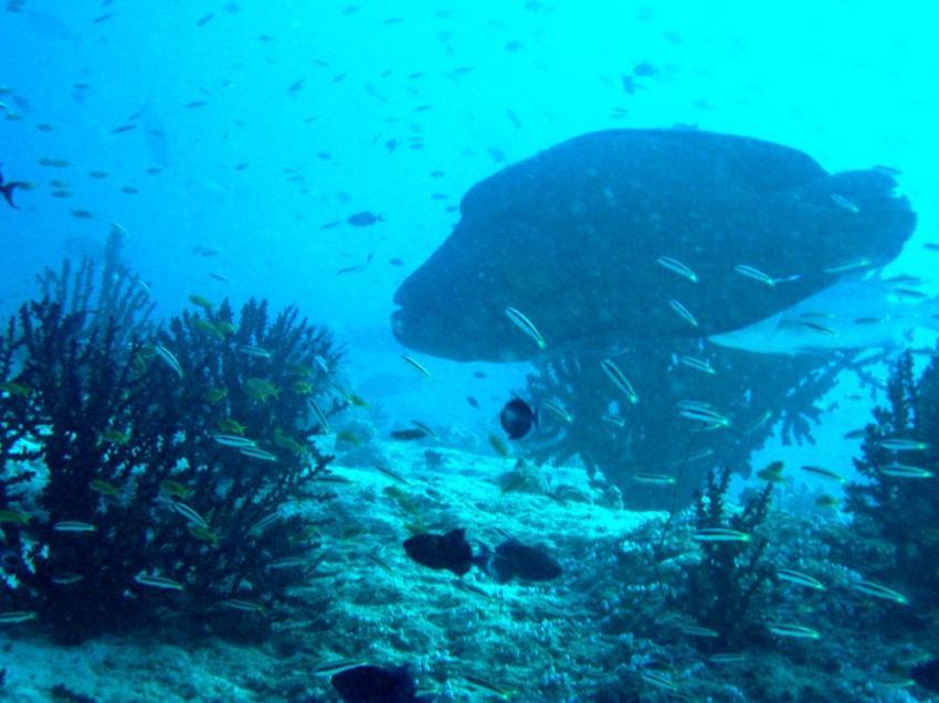 Vilu Reef, Vilu Reef,Malediven,napoleon