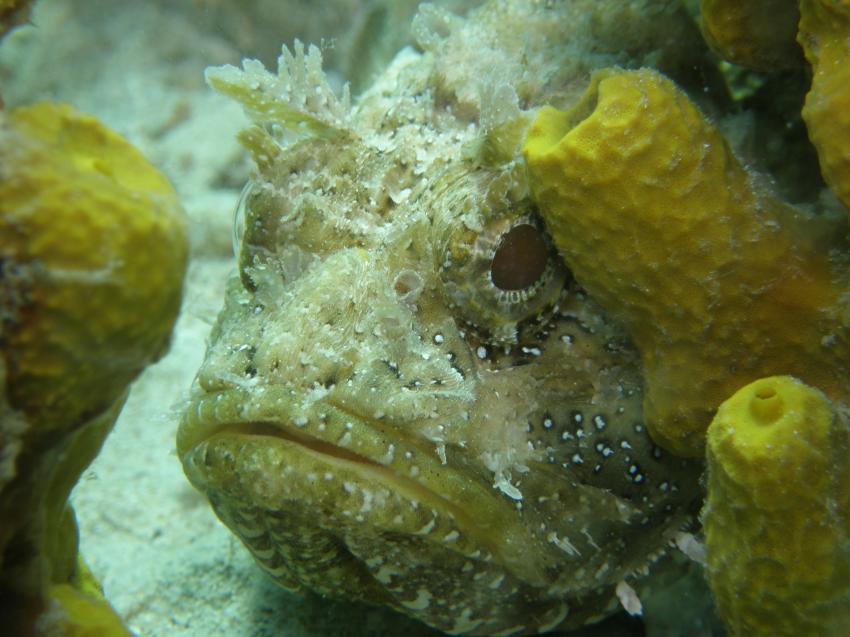 lamabüba life, Ägypten,Skorpionsfisch,Drachenkopf