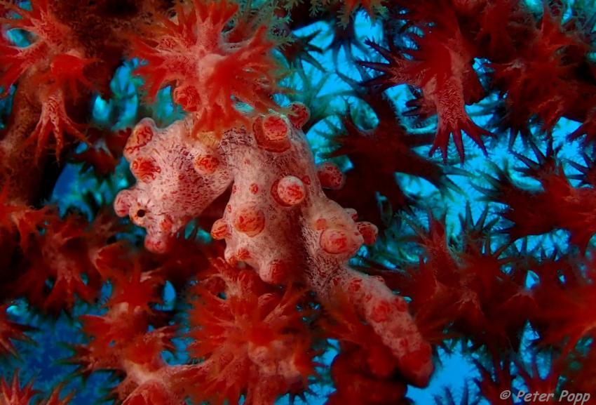 Pygmy, Pygmäenseepferdchen, Zwerg-Seepferdchen, Sea Souls Diving Nord Sulawesi, Indonesien, Sulawesi
