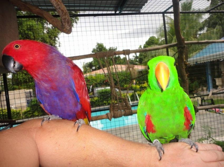 Wall-E und Eva, Edelpapageien, Parrot Resort Moalboal, Philippinen