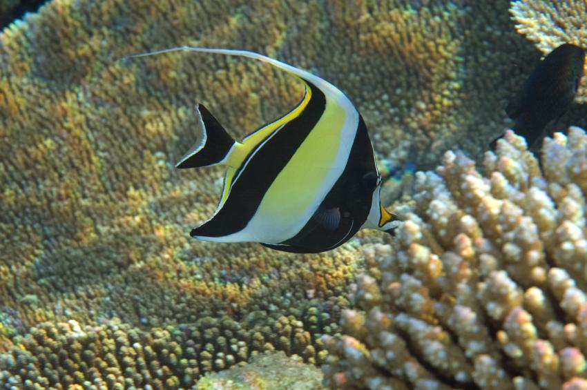 Velidhu (Nord Ari Atoll), Velidhu,Malediven,Halfterfisch,Zanclus cornutus