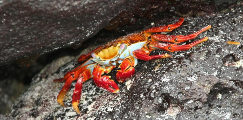 Galapagos, Galapagos,Ecuador,Krabbe,Krebs,rot,Höhle