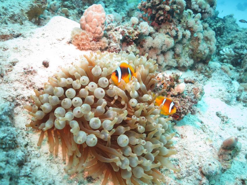 Corals, Blue Ocean Diving Center, Abu Dabbab, Ägypten, Marsa Alam und südlich