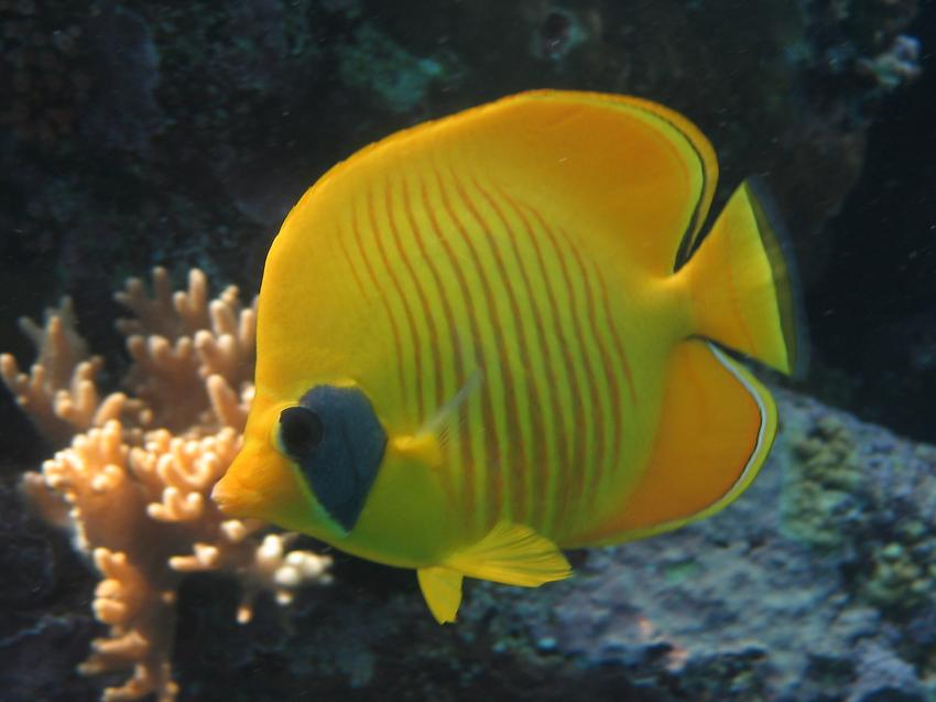 Tauchsafari National Park, Ras Mohammed,Ägypten,Maskenfalterfisch