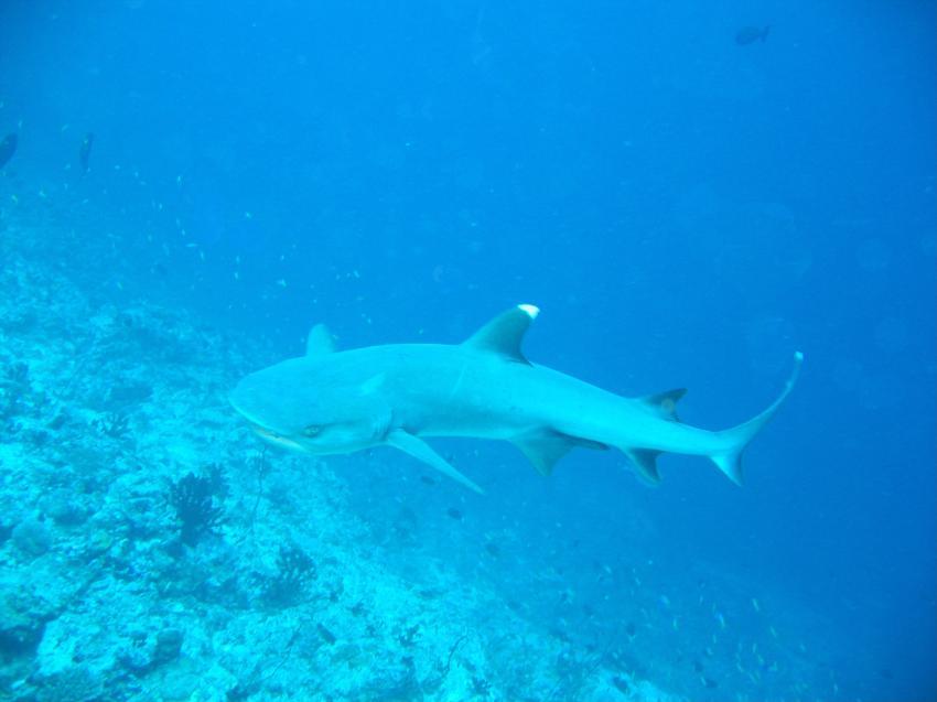 bolifushi house reef, blue canyon, Bolifushi,Malediven,weissspitzenriffhai