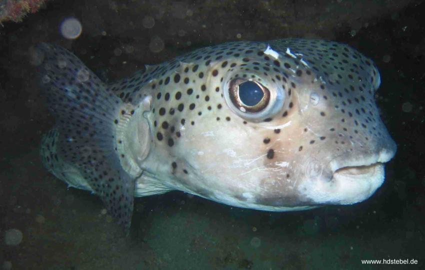 Santa Maria, Insel Sal,St. Maria,Kap Verde,kugelfisch