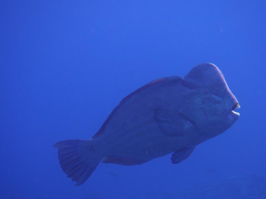 Apo Reef; Büffelkopf, Apo Reef, Pandan Island, Sablayan, Philippinen