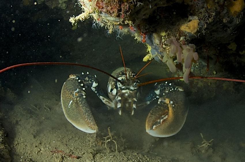 Hummer, Hummer, Mittelmeer, Spiro Sub Diving Elba, Marina di Campo (Elba), Italien, Elba