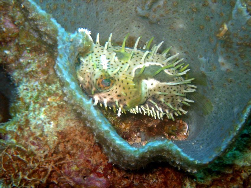 Puerto Plata Dressel Divers, Puerto Plata,Dominikanische Republik,Igelfisch,Versteck,Diodontidae