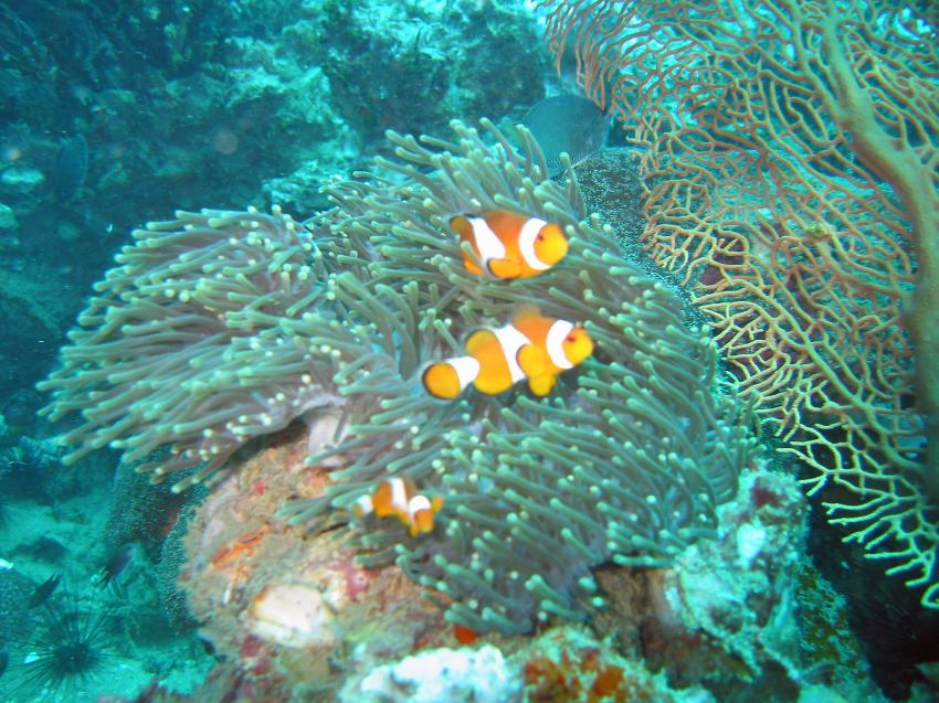 Shark Point / Anemone Reef, Shark Point / Anemon Reef,Thailand