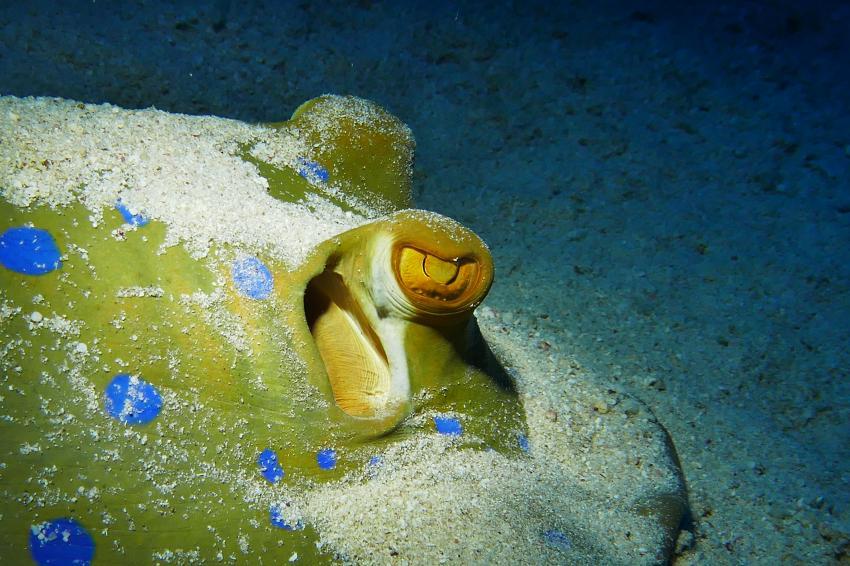 Blaupunktrochen, Wonderful Dive, Akassia LTI & Calimera, Ägypten, El Quseir bis Port Ghalib