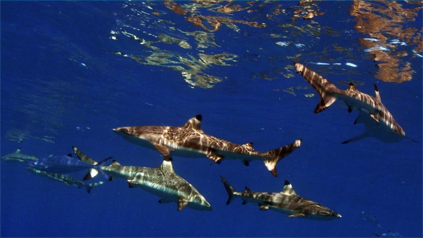 Moorea, Moorea und Fakarava,Französisch-Polynesien,Haie