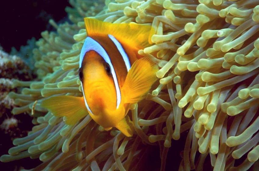 Elphinstone Reef, Elphinstone Reef (Marsa Alam),Ägypten,Clownfisch,Anemone