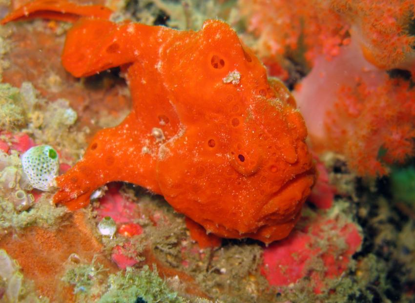 Orangener Anglerfisch