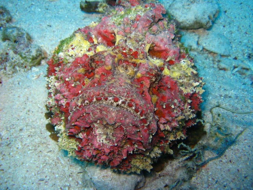 Anglerfisch und mehr, Safaga ORCA - Dive Clubs,Ägypten,Skorpionsfische,Steinfisch