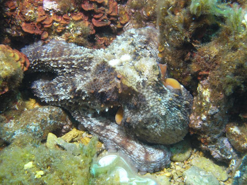 Mallorca-Port d´Andratx, Mallorca-Port d´Andratx,Spanien,Oktopus,Krake