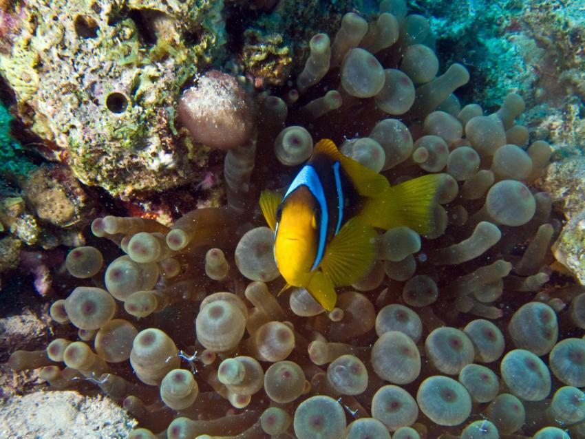 Clownfisch mit Anemone am Hausriff, Sahl Hasheesh, Tauchbasis, Hausriff, deutschsprachig, Clownfisch, SUBEX Sahl Hasheesh im Baron Palace, Ägypten, Hurghada