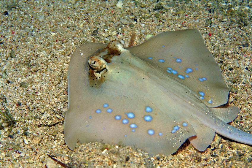Pulau(= Insel) Sahaung (Bangka Archipel), Pulau Sahaung,Indonesien,Blaupunkt-Stechrochen (Dasyatis kuhlii)