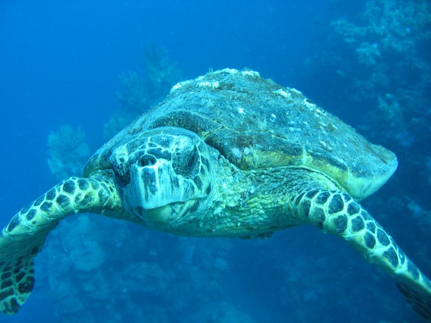 Hausriff-Kröte, Euro-Divers, Utopia Beach, Ägypten, El Quseir bis Port Ghalib