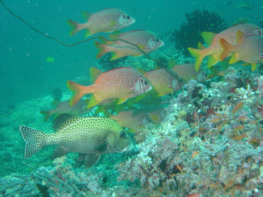 Handhu Falhi Tauchsafari, Handhu Falhi,Malediven,Süslippe,Husarenfisch