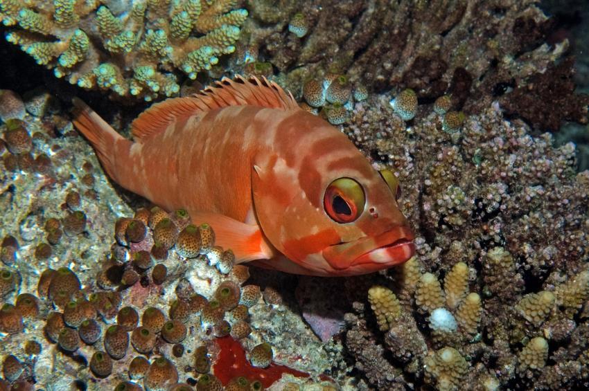 Ellaidho, Ari Atoll,Malediven,Baskenmützen-Zackenbarsch,Epinephelus fasciatus