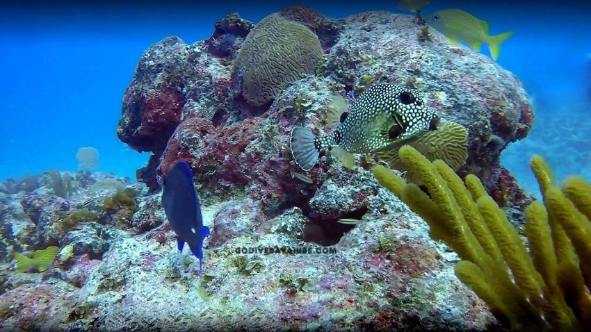 Kofferfisch, GO DIVE Bayahibe, Dominikanische Republik