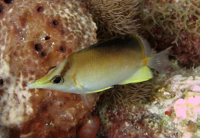 rund um West Punt, West Punt,Curaçao,Niederländische Antillen,Karibik-Pinzettfisch