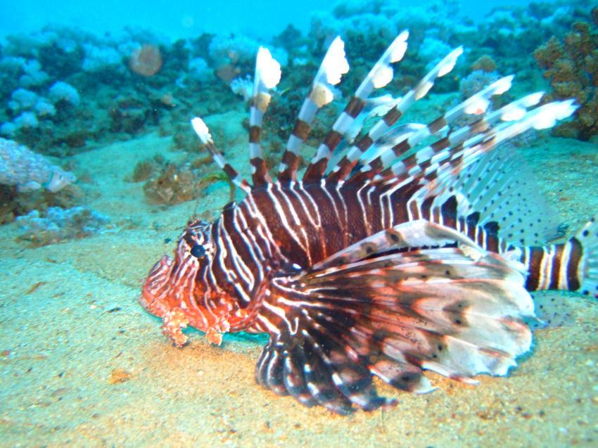 Ras Nasrani / Sharm el Sheik, Ras Nasrani (Sharm El Sheikh),Ägypten,Rotfeuerfisch