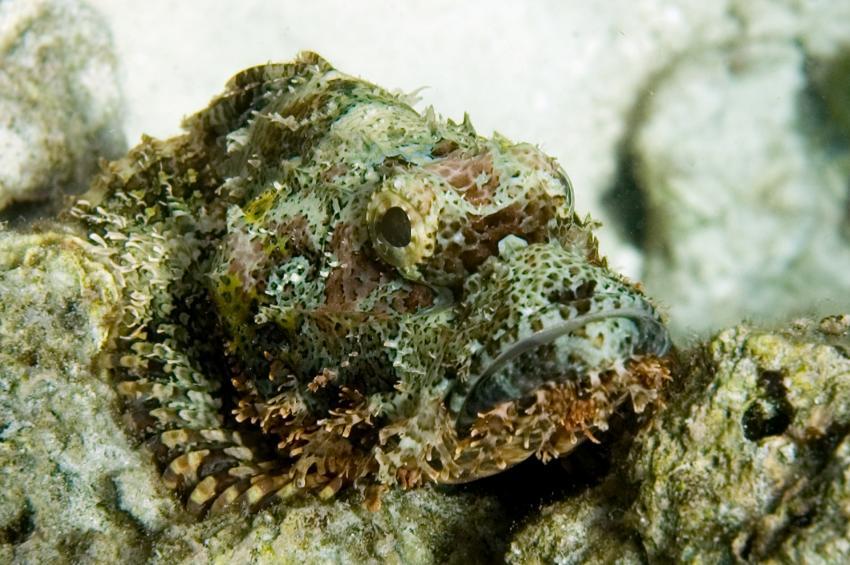 Lhaviyani Atoll Komandoo, Lhaviyani Atoll Komandoo,Malediven,Bärtiger Drachenkopf,Scorpaenopsis oxycephalus