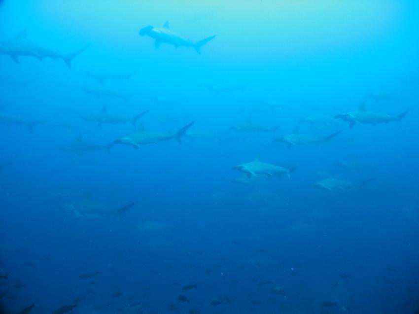 Galapagos, Galapagos Allgemein,Galapagos,Ecuador,Haie,Carcharhinidae