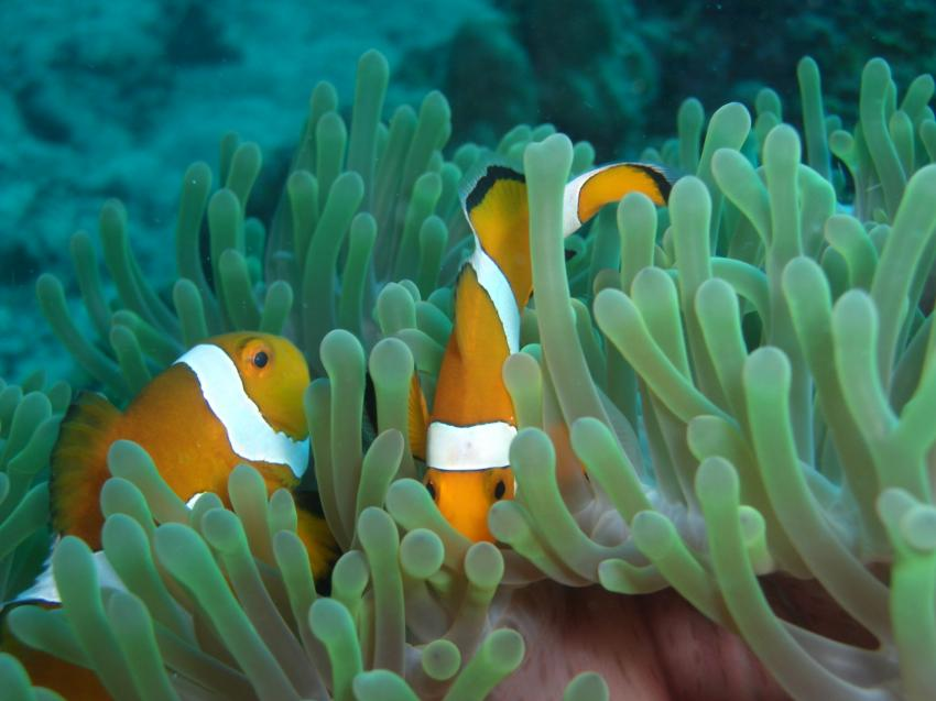 Pulau Redang, Redang,Malaysia,Anemonenfische,orange,Anemone