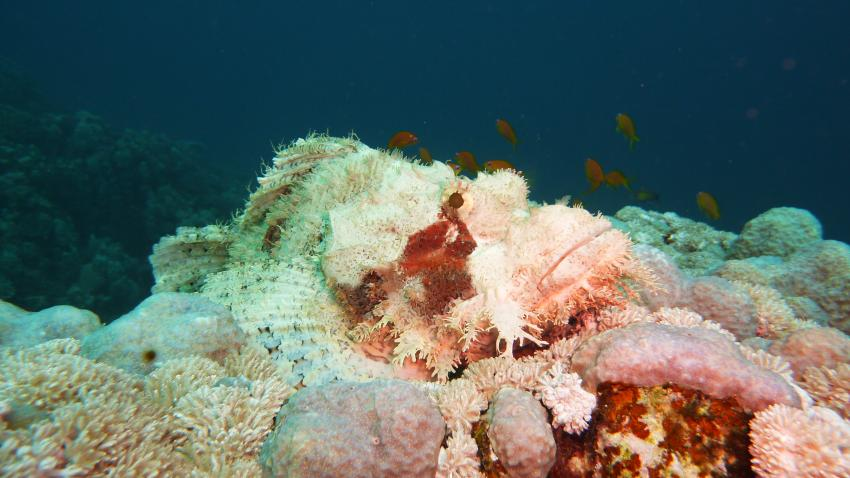 weißer Drachenkopf, Wonderful Dive, Akassia LTI & Calimera, Ägypten, El Quseir bis Port Ghalib