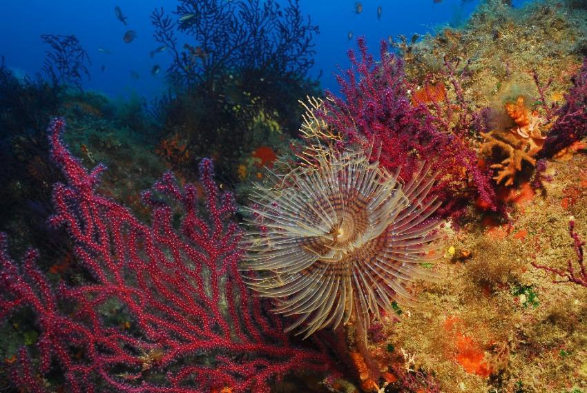 Isola del Giglio, Giglio,Italien,Korallen,Gorgonien