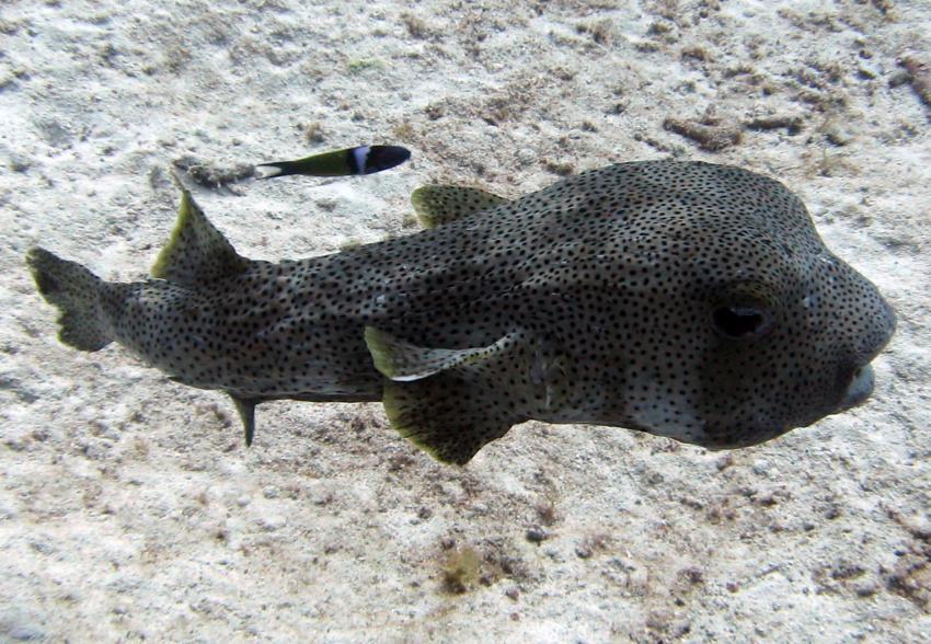 rund um West Punt, West Punt,Curaçao,Niederländische Antillen,Gepunkteter Igelfisch
