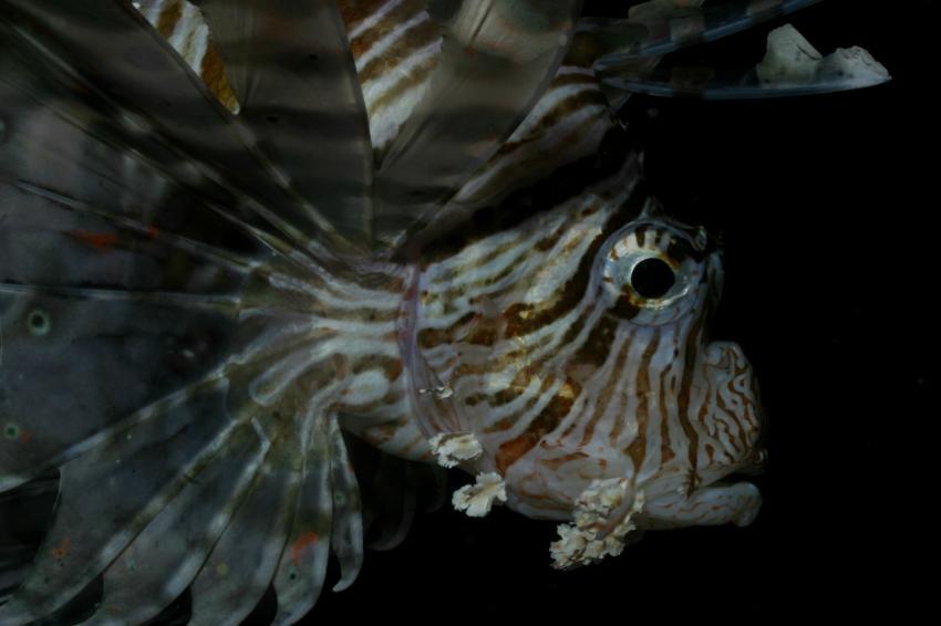 Nordtour von Hurgada bis Ras Mohammed, Nordtour von Hurgada bis Ras Mohammed,Ägypten,Skorpionsfische,Rotfeuerfisch