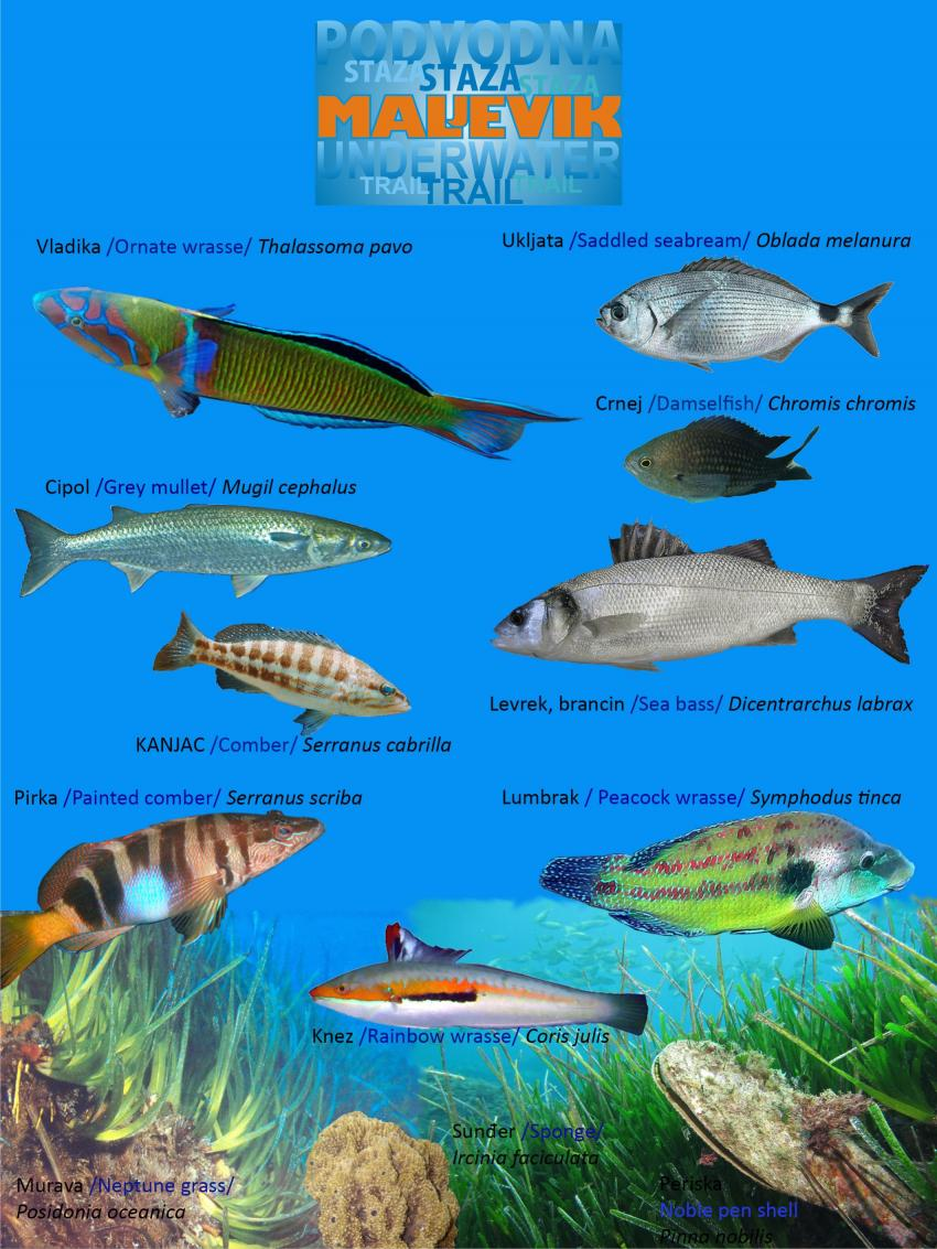 fish chart for Sutomore , Maljevik octo snorkel dive park , Serbien und Montenegro