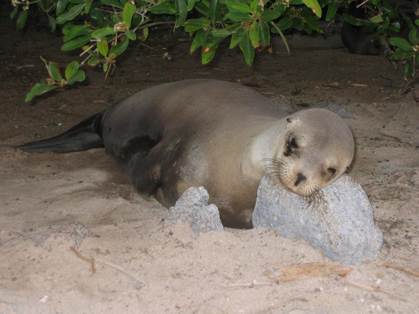 Galapagos, Galapagos Allgemein,Galapagos,Ecuador,Robbe,Seelöwe,schlafen