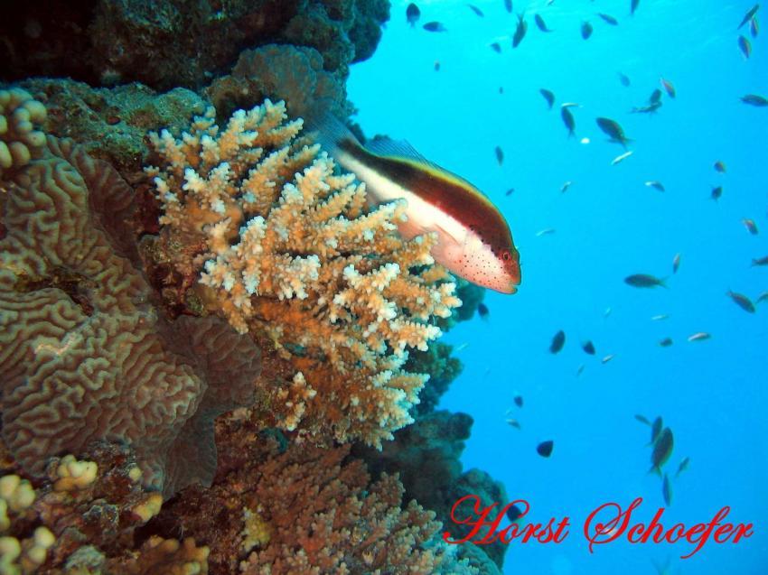 Safaga - Abu Hashish, Abu Hashish (Hurhada),Ägypten,korallenwächter