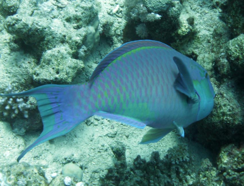Hausriff und Tobia-Reef, Safaga Magic Divers,Ägypten