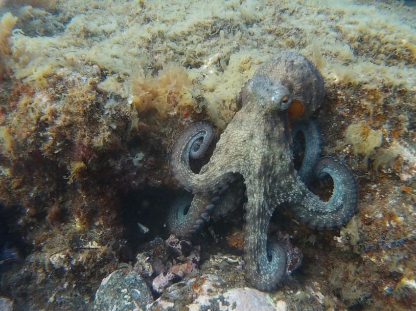Octopus, Leagues Ahead Diving, Maspalomas , Spanien, Kanaren (Kanarische Inseln)