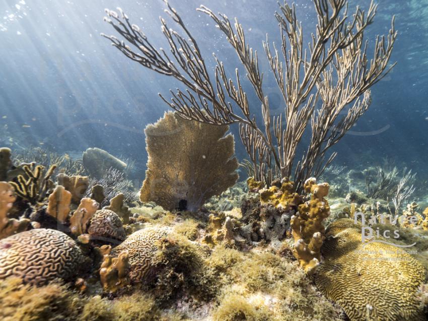 Seefächer - Kleine Knip, Poppy Hostel Curacao, Willemstad, Niederländische Antillen, Curaçao