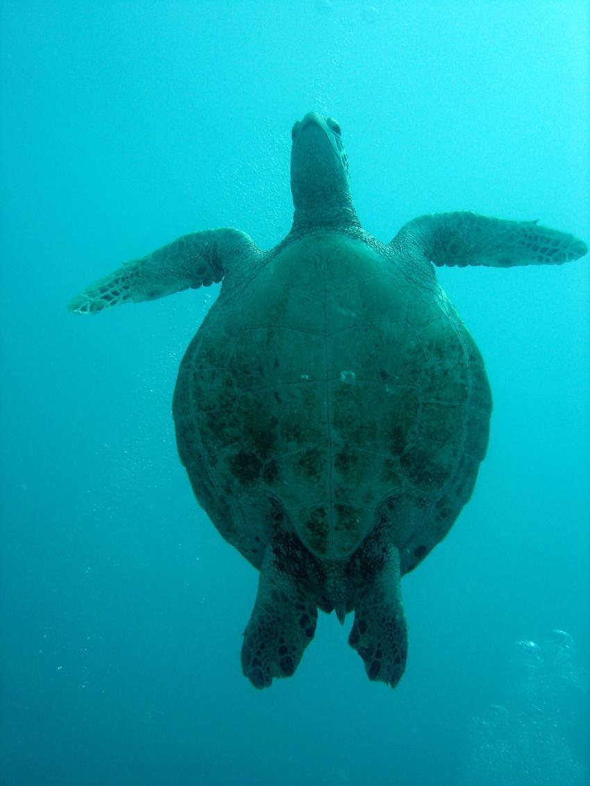 Heron Island / GBR, Heron Island,Australien,Schildkröte